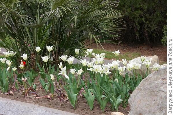 Цветут тюльпаны сорта Spring Green, фото автора
