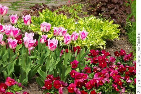 Изысканно смотрится группа тюльпанов среди других растений, фото автора