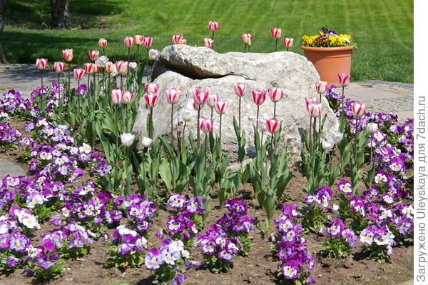 Тюльпан садовый сорта Modern Style с разноцветной виолой Виттрока, фото автора