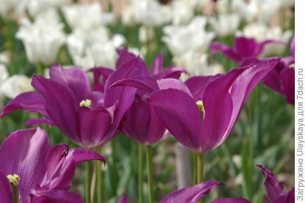 Тюльпан садовый сорта Burgundy на фоне белоцветковых тюльпанов, фото автора