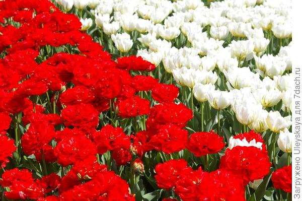 Цветут тюльпаны, сорта Махровый Красный и Up White, фото автора
