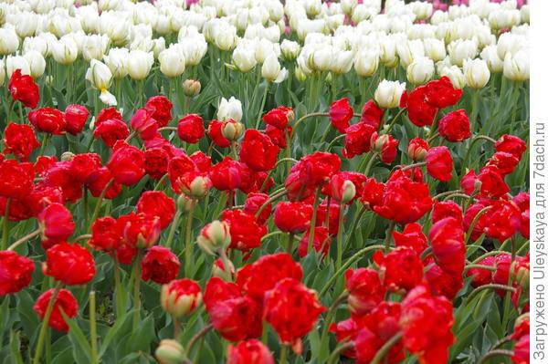 Тюльпаны, сорта Махровый Красный и Up White после дождя, фото автора