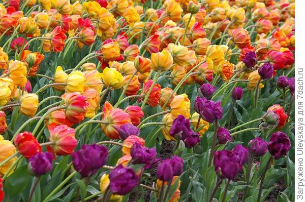 Цветут тюльпаны из садового класса Махровые Поздние, фото автора