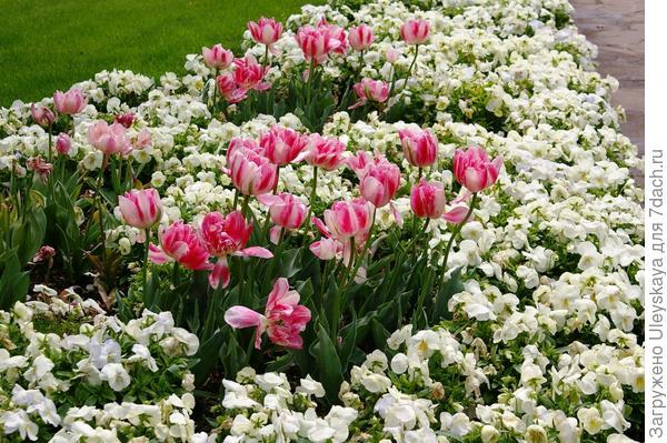 Тюльпаны задают ритм, фото автора