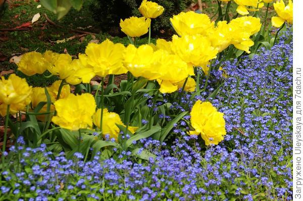 Тюльпан садовый сорта Exotic Sun с незабудками, фото автора