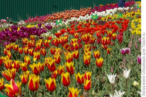 Сложно подобрать кандидата в пару к двухцветным тюльпанам, фото автора