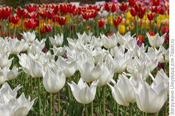 Цветут самодостаточные тюльпаны, фото автора