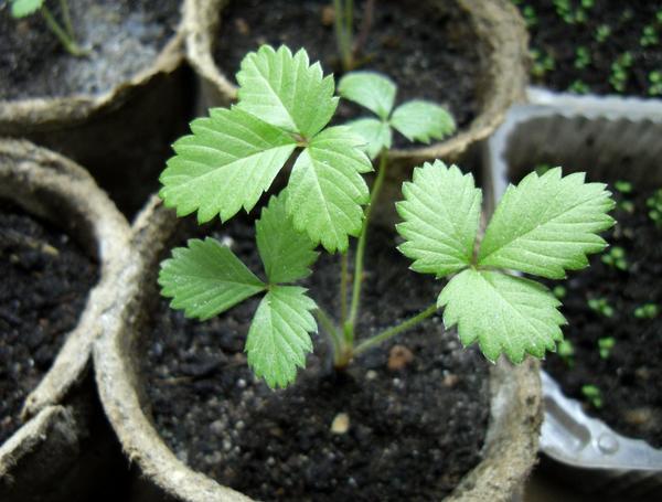 Земляника из семян