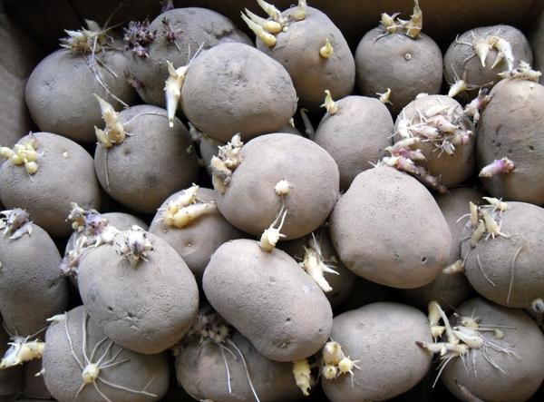 Проращивание картофеля