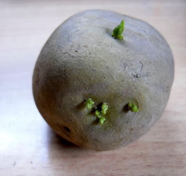 Картофелина с ростками