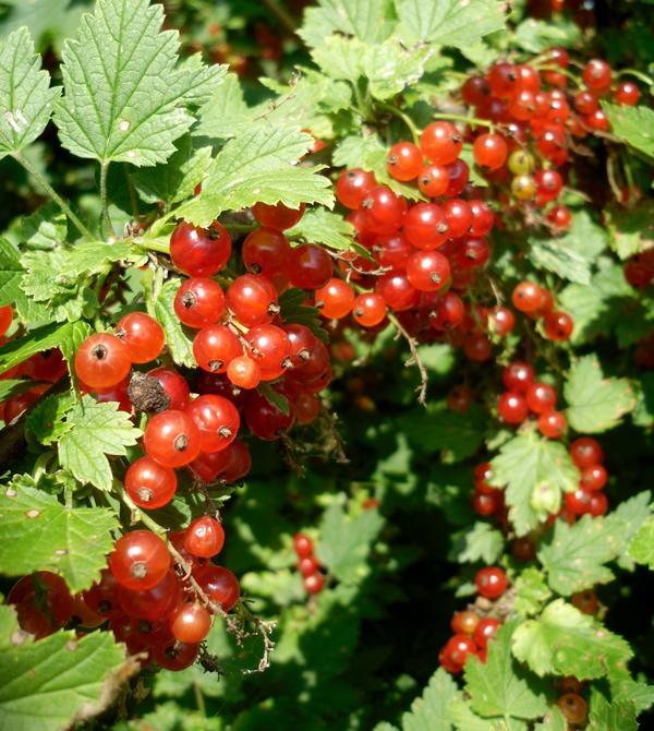 Смородина красная ягоды