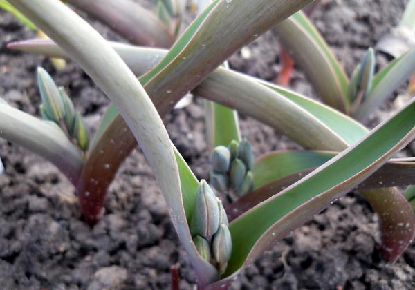 Тюльпаны ботанические бутончики