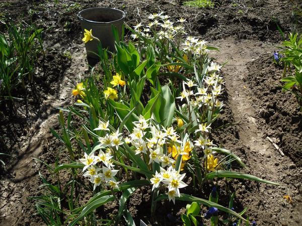 Клумбочка с ботаническими тюльпанами