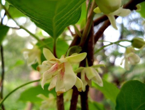 Цветы лимонника