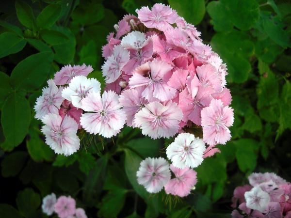 Гвоздика турецкая нежно-розовая