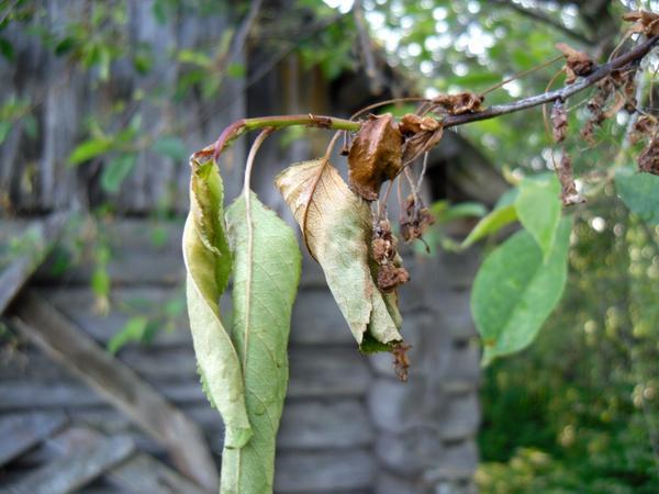 Поврежденные ветки вишни