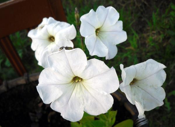 Белая петуния