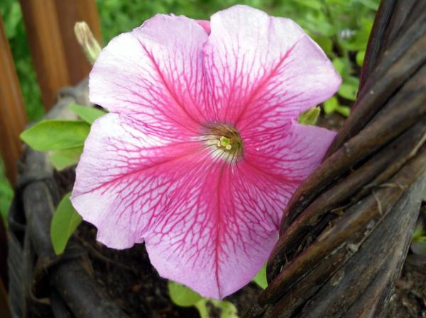 Розовая петуния с прожилками на лепестках