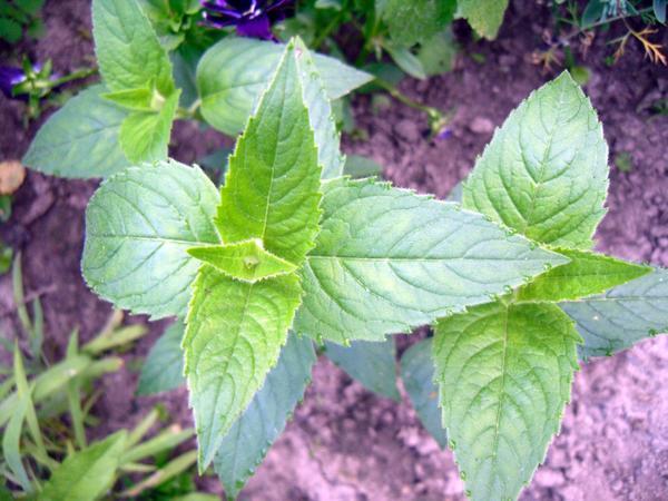 Листья монарды
