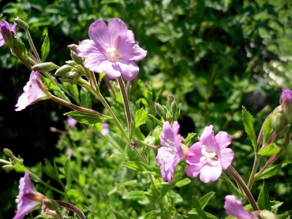 Цветы, похожие на мирабилис