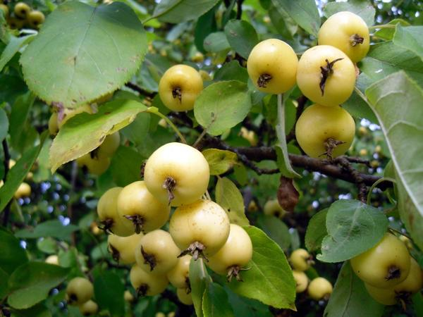 Яблочки на ветке