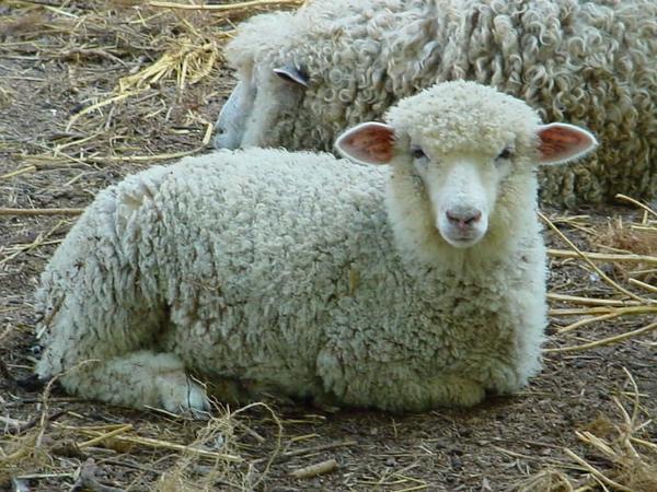 Белая овца, Фото с сайта  www.questgarden.com