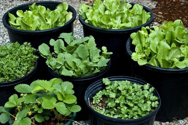 Салат радичио выращивание на даче 10