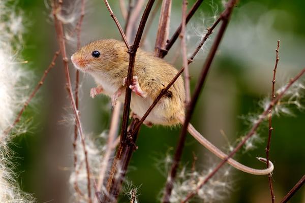 Мышь на ветке