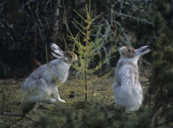 Зайцы у дерева