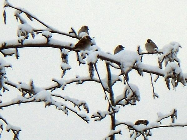 Воробьи на дереве