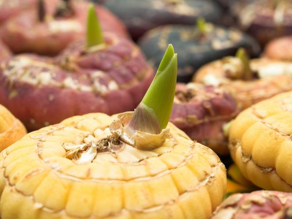Луковица гладиолуса с ростком