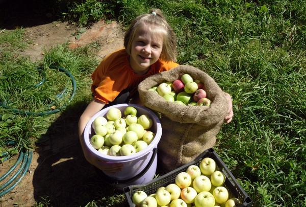 Яблони одарили щедрым урожаем