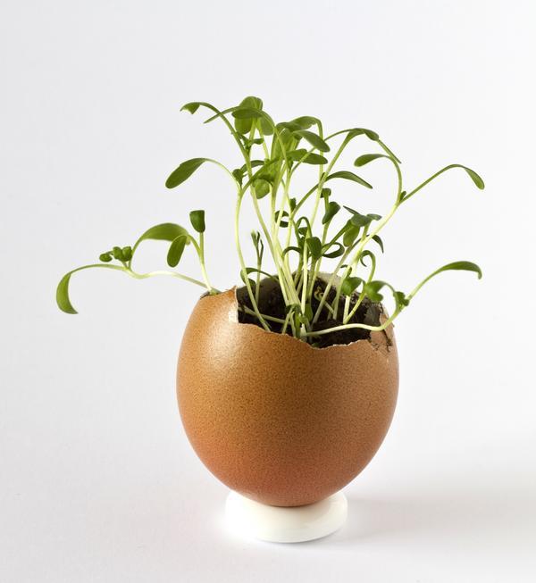 Можно вырастить рассаду даже в скорлупе от яйца