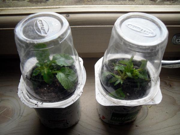 Виолы в мини-парничках