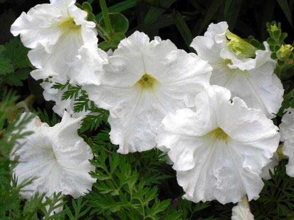 Петунии - очень красивые цветы