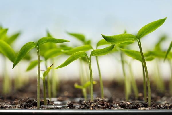 Не следует загущать посевы, чтобы получить хорошую рассаду