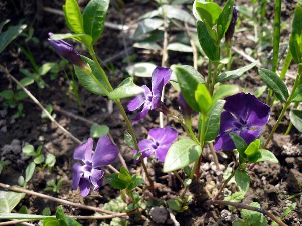 Обычно цветы барвинка небесно-синие, но у сортовых возможны и другие оттенки