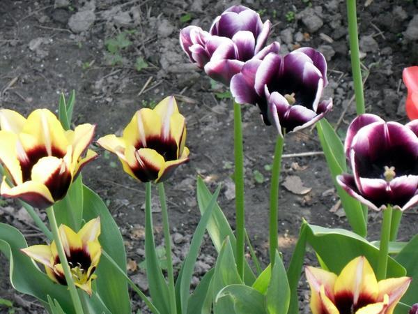 Двухцветные тюльпаны
