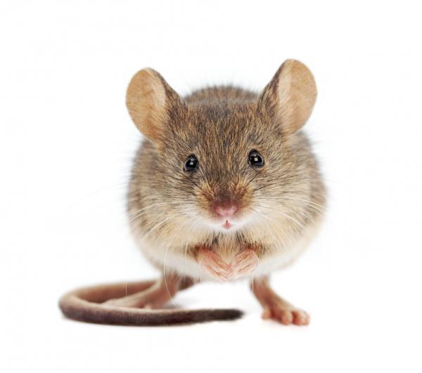 Мыши за зиму могут нанести дачному дому немалый урон