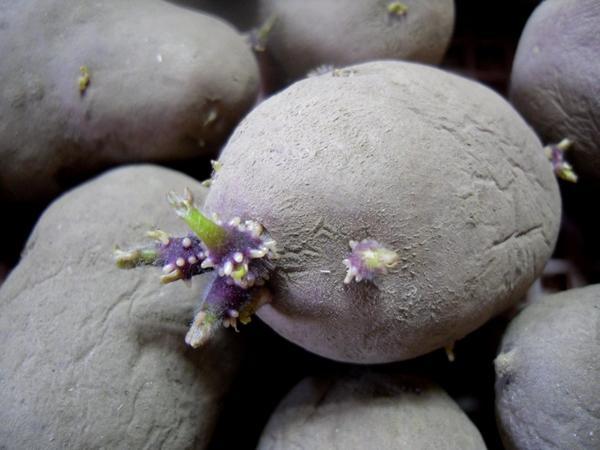 Клубни картофеля нужно своевременно готовить к посадке