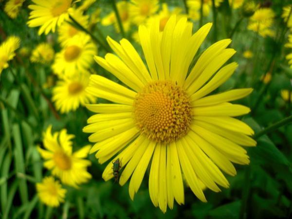 Цветок дороникума