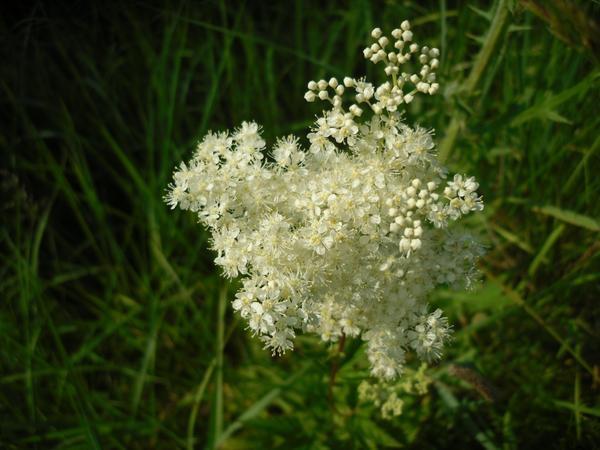 Соцветие лабазника (таволги вязолистной)