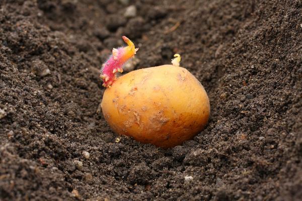 Наступает время посадки картофеля