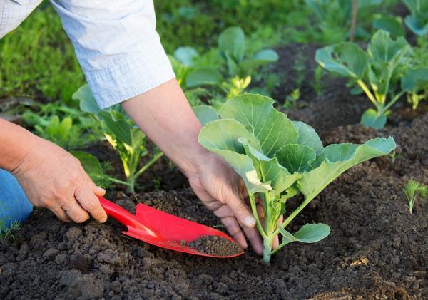 Чтобы получить хороший урожай капусты, важно удачно выбрать сорт
