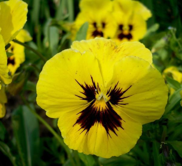 Виолы - любимицы садоводов
