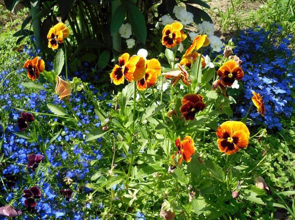 Посеянные весной виолы летом уже обильно цветут
