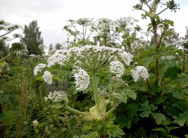 Борщевик Сосновского - опасное растение