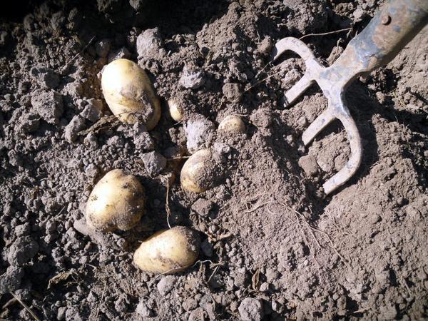 Копать картошку лучше вилами