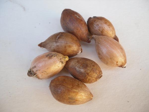 Перед покупкой убедитесь в качестве луковиц