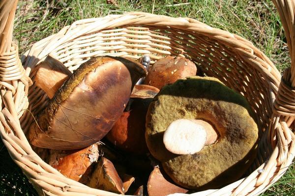 В корзине с грибами может таиться опасность